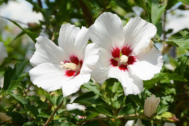 """Измаил, Белые цветы болотного Гибискуса в саду """"Малой Мечети"""" / Izmail, White flowers of Hibiscus Moscheutos in the garden of the """"Small Mosque"""""""