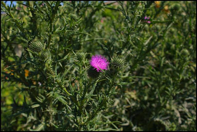 chardon -Cirsium vulgare (2)