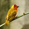 Taveta Golden Weaver / Ploceus castaneiceps