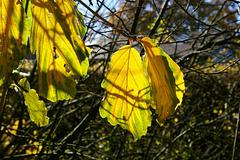 Hamamelis leaves