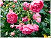 Roses de Novembre au jardin Anglais à Dinan