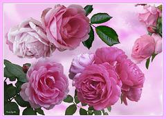 Rosas sobre un mar rosa