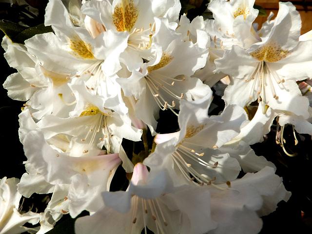 Weisser Rhododendron.  ©UdoSm