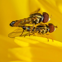 B183376dL · Insects on chrysanthemum (7)