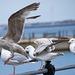 Seagull May set (63)