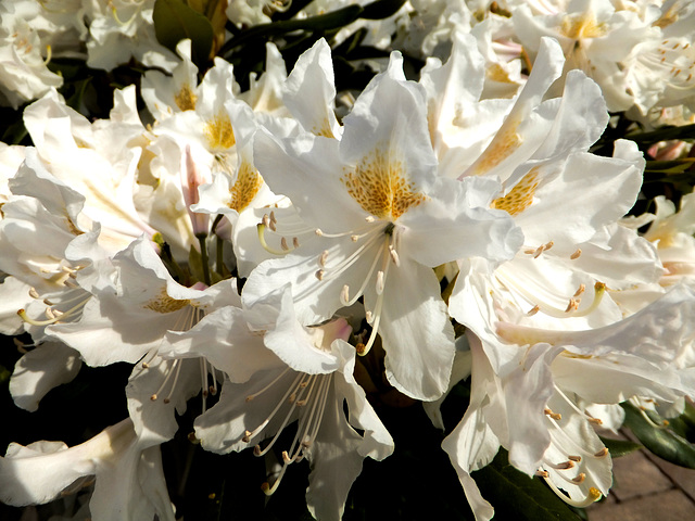 Rhododendron.  ©UdoSm