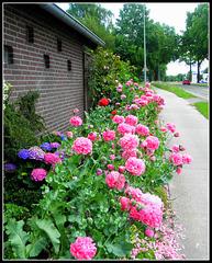 Poppy  path