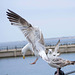 Seagull May set (65)