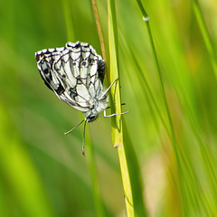 Marbled White Butterfly (2xPiPs)
