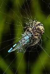 Damsel Fly & A Spider