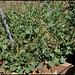 Rumex scutatus (3)