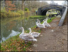 Swan Family at Isis Bridge