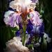 Lavender and Peach Iris