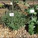Rumex scutatus (4)