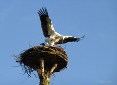 Mating Storks... 3