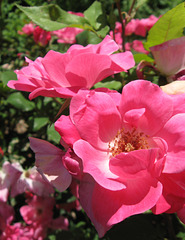 Roses in Bayard Cutting Arboretum State Park