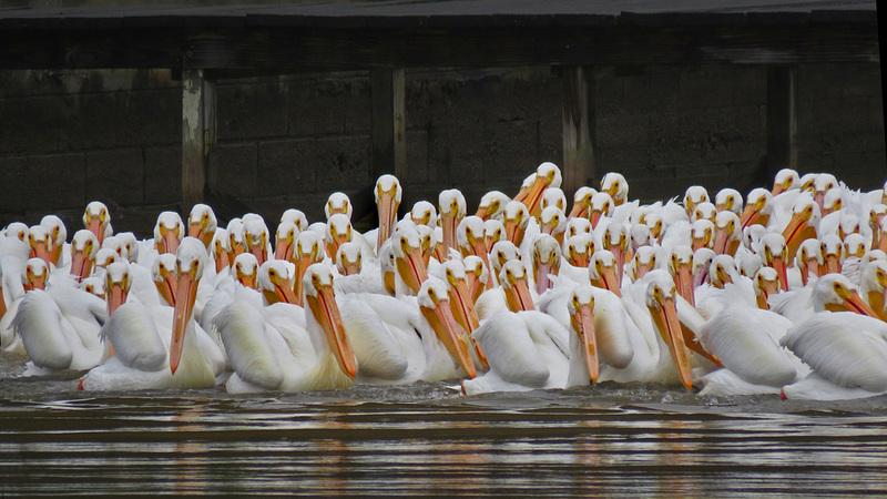 White Pelican Flock