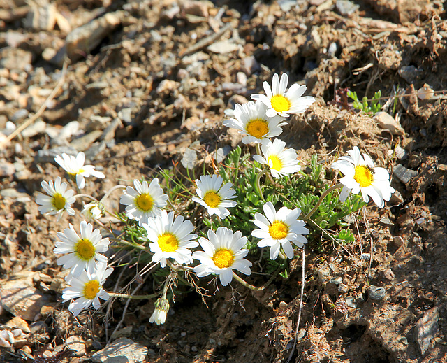 Alpen-Margerite