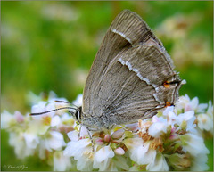 Purple Hairstreak ~  Eikenpage (Favonius quercus)...