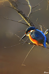 Martin-Pêcheur - Kingfisher