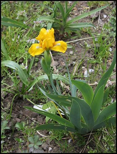 Iris Cache of Gold (1)
