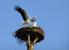 Mating Storks... 1