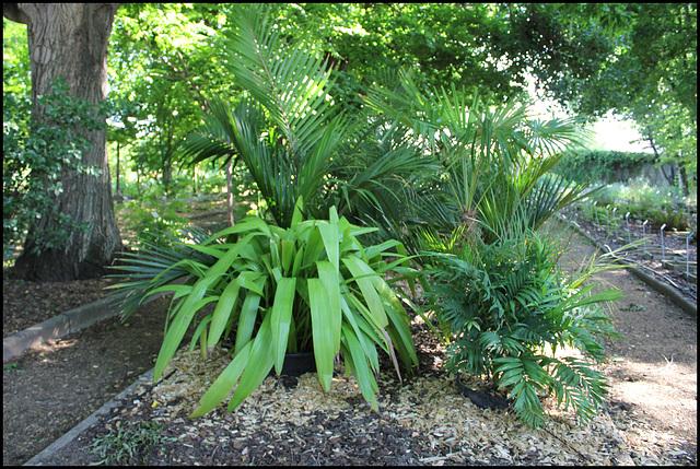 Palmiers (2)