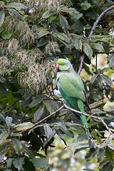 Halsbandsittich (Zoo Heidelberg)