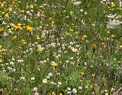 Almwiese und Schmetterling