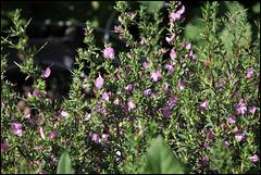 Ononis spinosa (4)