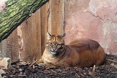 Asiatische Goldkatze (Zoo Heidelberg)