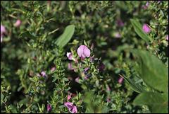 Ononis spinosa (5)