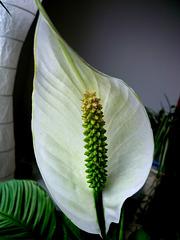 Spathiphyllum...