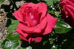 Une rose******************pour vous ♫