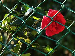 HFF con una rosa di gennaio !!!