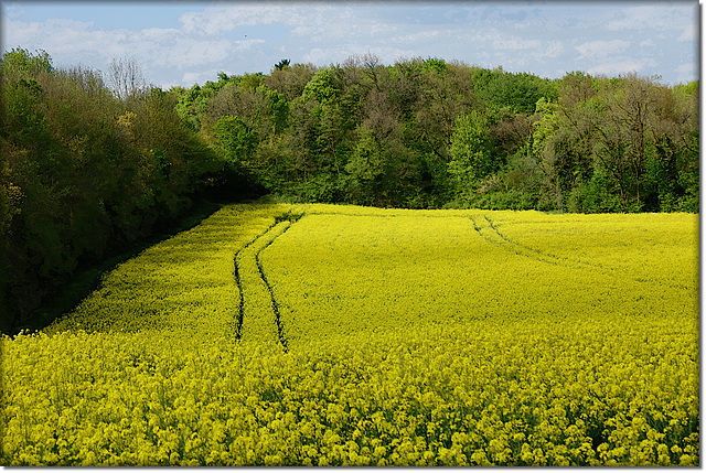 Les fleurs des champs de colza sont de retour ...