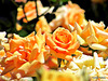 Glorious Golden Roses.