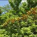 Magnolia ( laurus nobilis) (4)