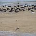 20140914 5299VRAw [NL] Austernfischer (Haematopus ostralegus), Sandregenpfeifer (Charadrius hiaticula), Steinwälzer (Arenaria interpres),, Terschelling