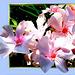 Blüten des Südens... ©UdoSm