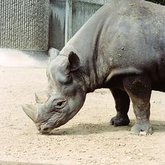 Rhinoceros at London Zoo, May 1980