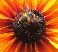Abeille sur soleil brûlé / Bee on a burnt sun