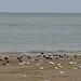 20140914 5298VRAw [NL] Austernfischer (Haematopus ostralegus), Möwen, Terschelling
