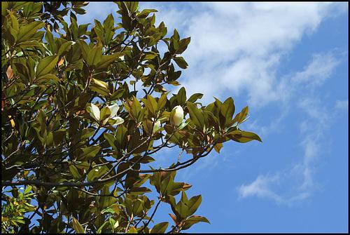 Magnolia ( laurus nobilis) (5)