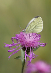 Green-vained White / Rapsweissling
