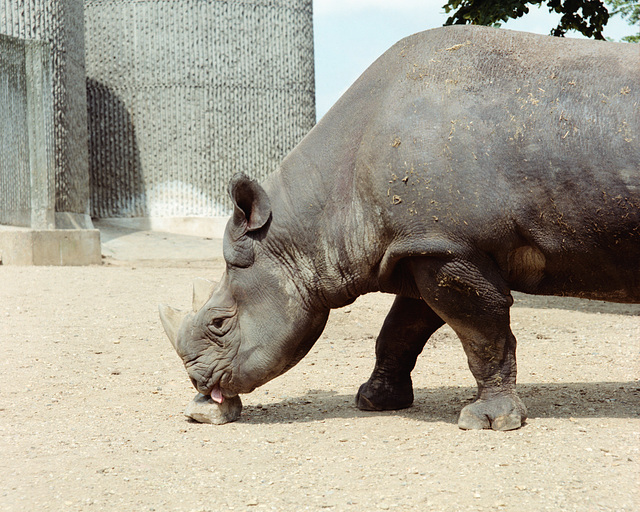 Rhinoceros licking a stone.  London Zoo, May 1980