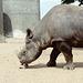 Rhinoceros licking a stone.  London Zoo, May 1980