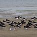 20140914 5297VRAw [NL] Austernfischer (Haematopus ostralegus), Terschelling
