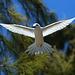 The Virgin Bird. Sterna bianca (Gygis alba)