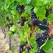 Pfälzer Wein- Trauben